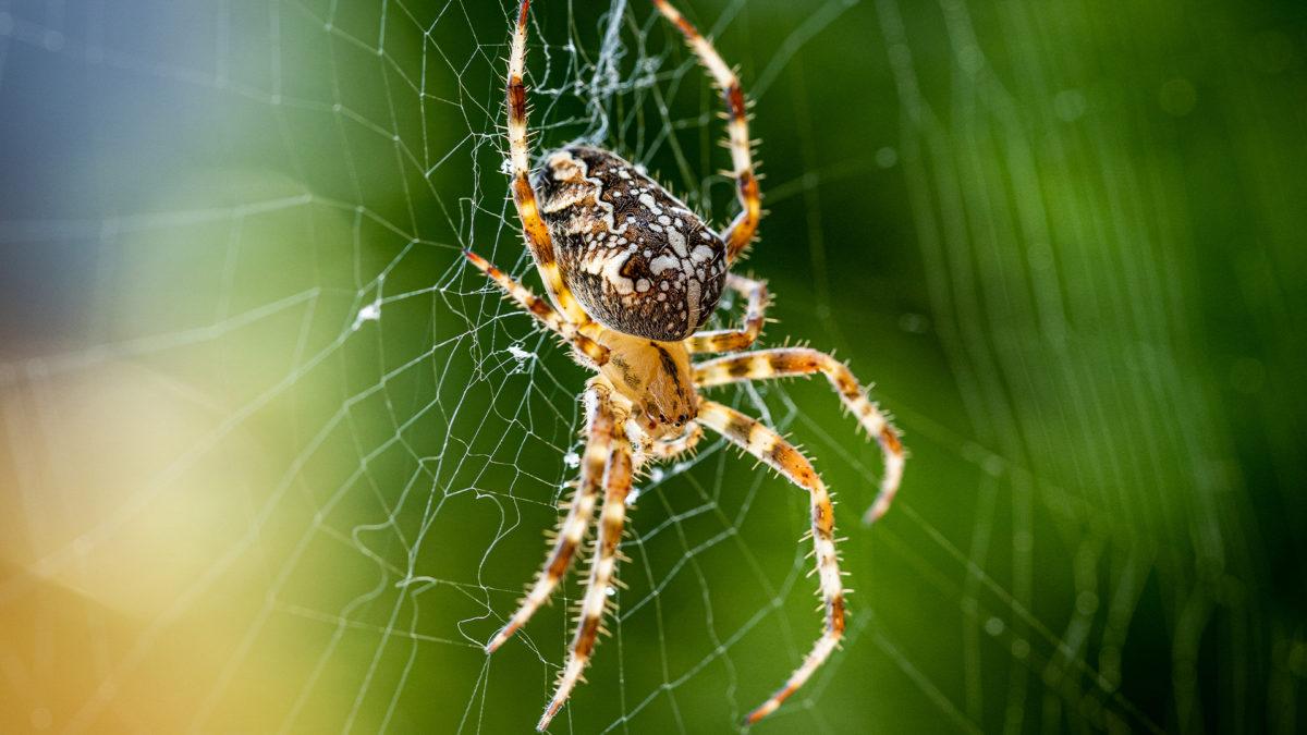 Jak wygląda ugryzienie pająka? Jak sobie z nim poradzić?
